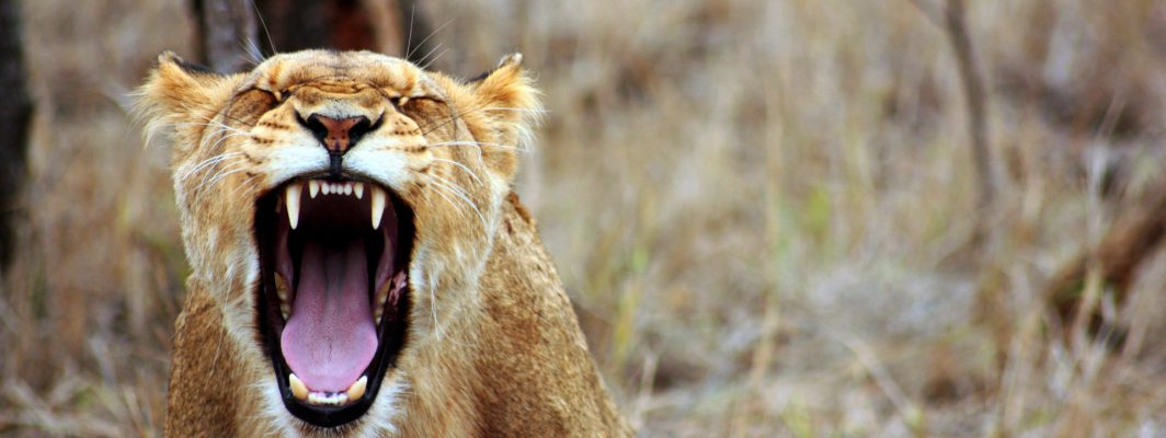 Angry Lioness